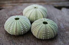 Erizos de concha verde